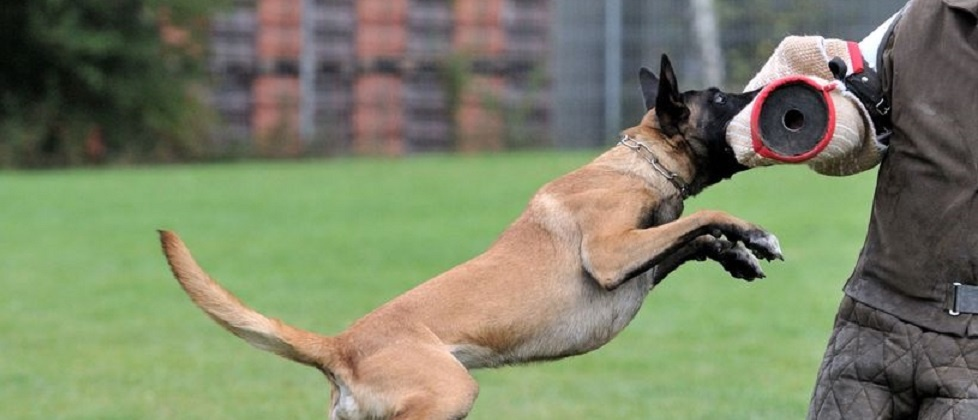 too many law enforcement k-9s suffer from ailments